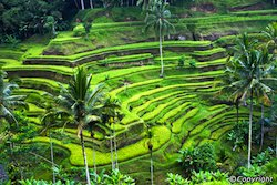 Ubud paddy fields